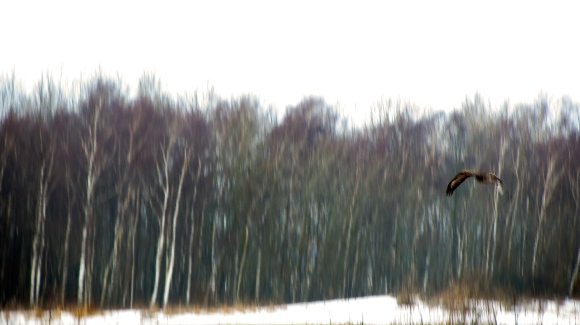 dimfågel