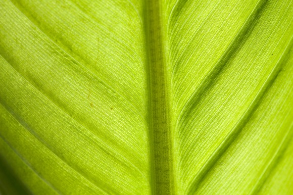 bananplanta_1