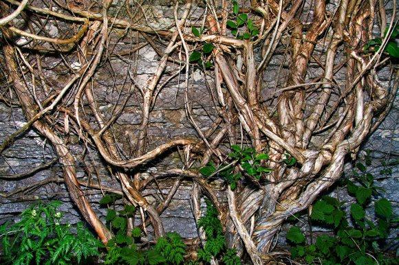 Kaprifolbusken