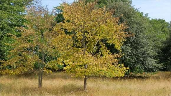 tvillingträd