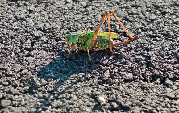 gräshoppa_2