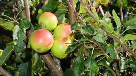vildäpplen