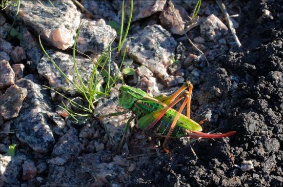 gräshoppa_delförstoring