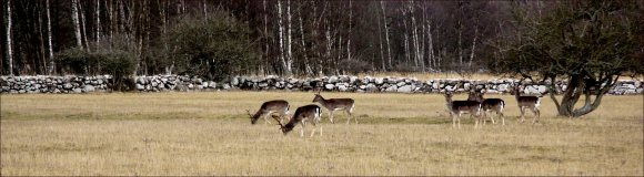 hjortbeskärning