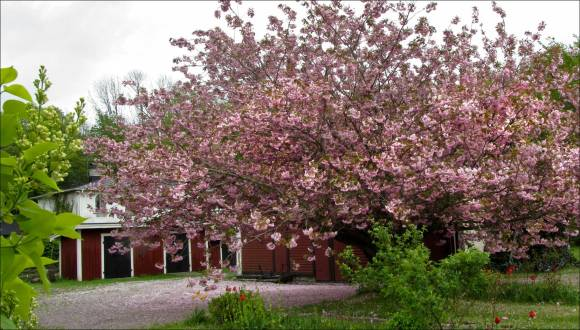 rosa_träd