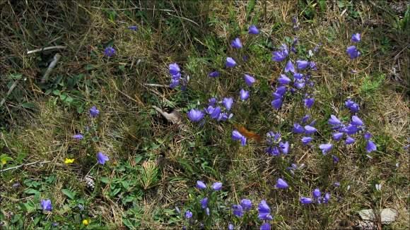 blåblommor